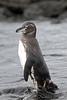 Galapagos Penguin (Spheniscus mendiculus) by DragonSpeed