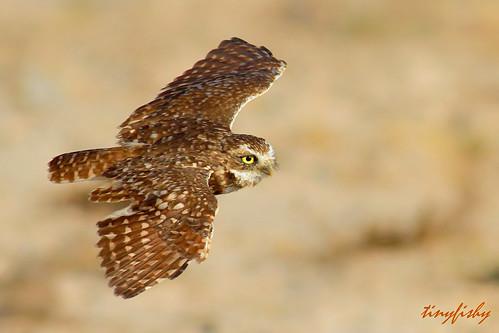 las vegas usa bird flying inflight nevada flight owl navada burrowing