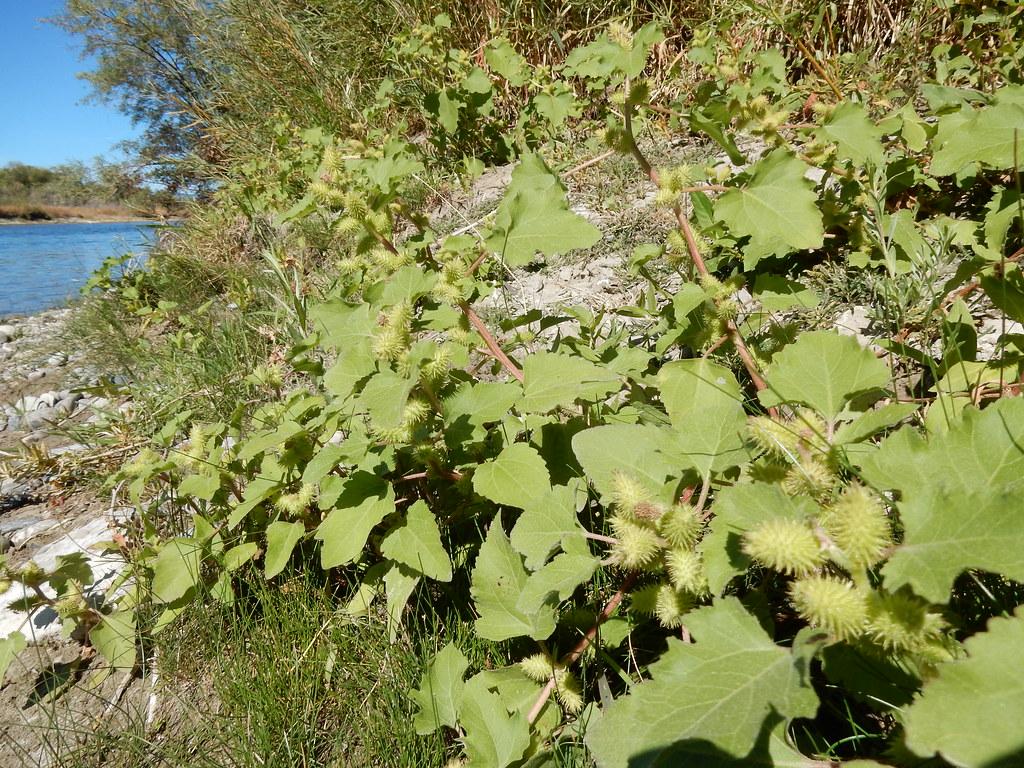 Xanthium strumarium | An inhabitant of warm open sunny moist