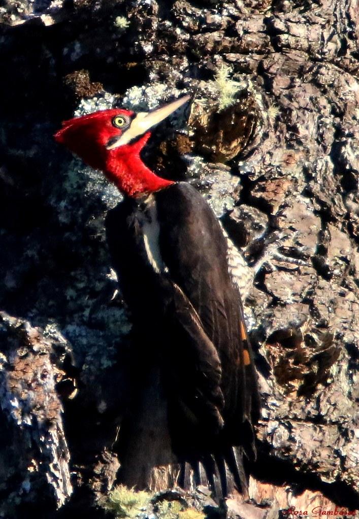 Pica-pau-rei | Robust Woodpecker (Campephilus robustus)