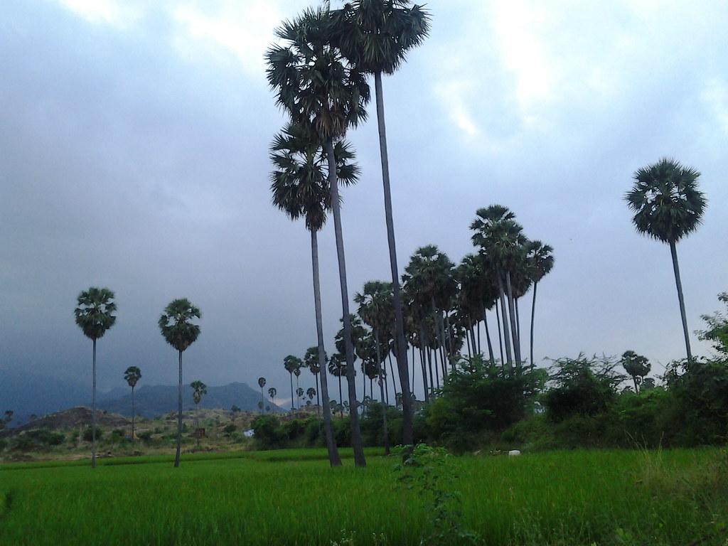 Palm trees near a village in Tamil Nadu | Christos Niarchos