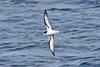 011031-IMG_3004 Gould's/Collared Petrel (Pterodroma leucoptera/Pterodroma brevipes) by ajmatthehiddenhouse