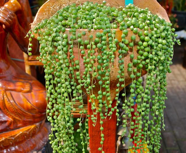 String Of Pearls Plant Care | Senecio Rowleyanus Ultimate Guide