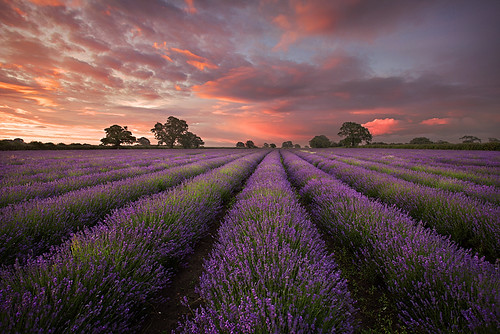 sunrise dawn purple lavender somerset rows atmospheric 2012 grahammcpherson lpoty