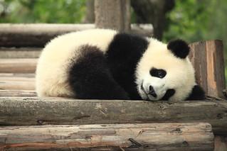 Panda | by George Lu
