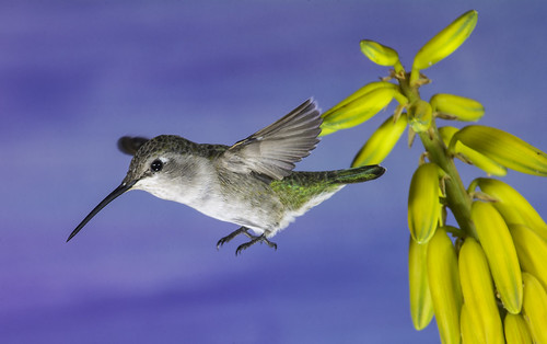 hummingbird hummer annashummingbird poway paintedbackdrop offcameraflash flores avianphotography nature naturephotography yn560iii yn560 yn560ii yongnuorf603n manualmode feeding sharp detail clarity bougainvillea