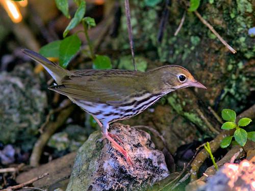 Ovenbird HDR 05-20160904