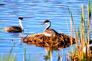 Nesting Western Grebes | by USFWS Mountain Prairie