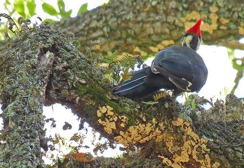 birds female woodpecker florida zoom wildlife pileated natureplus canonsx40