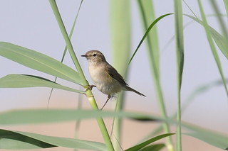 Siberian Chiffchaff | by Army Ornithological Society