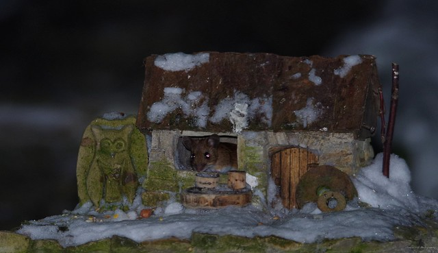 wild Wood mouse in a little garden house (4)