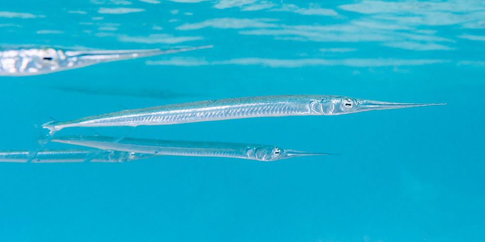 Keeltail needlefish