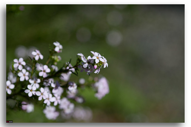 Native Boronia Flowering