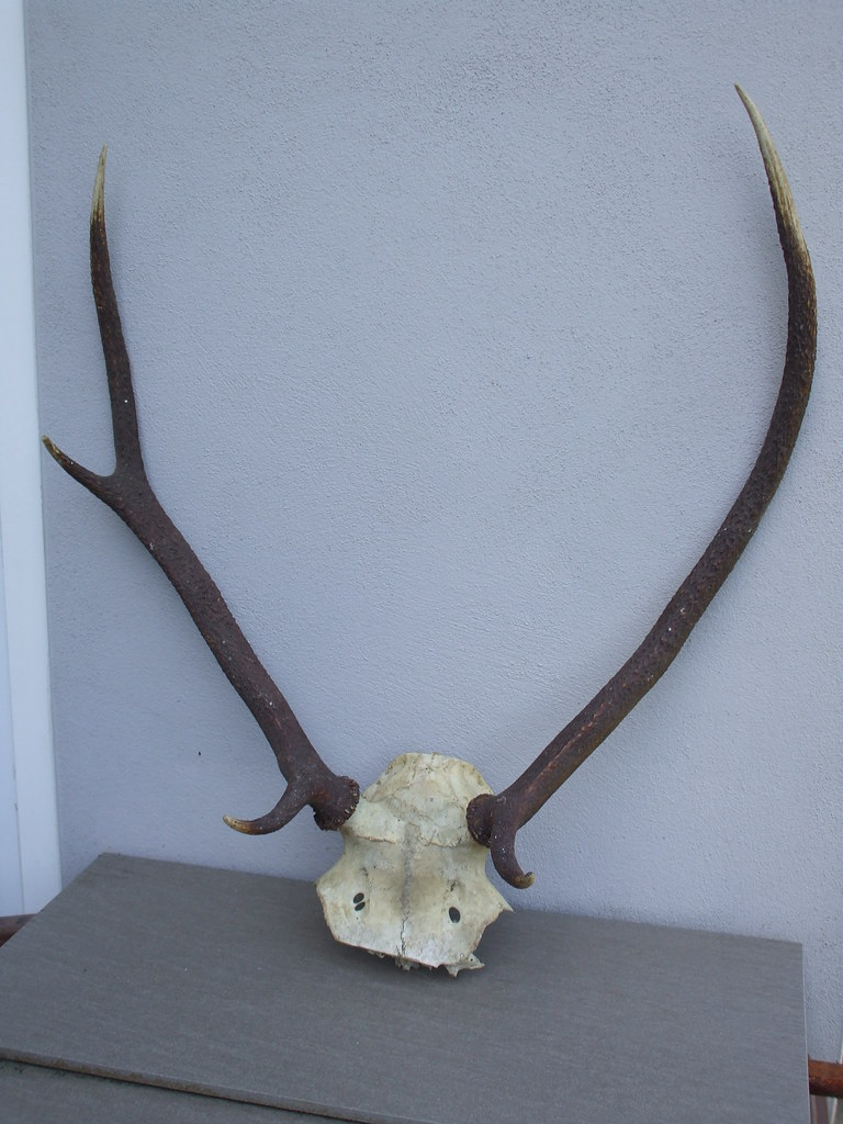 Decorative Deer Antlers & Top Skull Taxidermy Interest Car… | Flickr