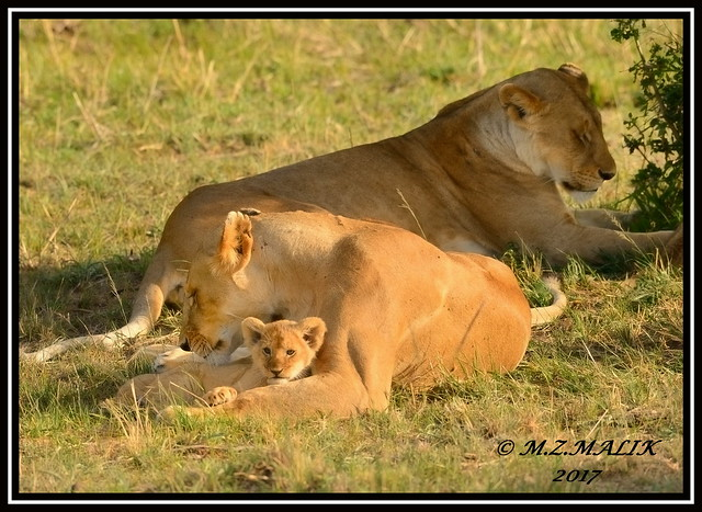 FEMALE LIONESS (Panthera leo) WITH CUBS......MASAI MARA......SEPT 2017.