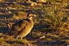 """Lesser Prairie-Chicken (Tympanuchus pallidicinctus) - male on a lek in a """"resting"""" posture.  Milnesand Prairie Chicken Area.  New Mexico, USA. by cbrozek21"""