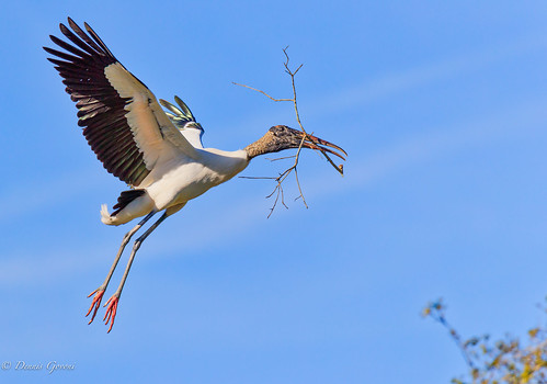 action background bird clouds flight florida staugustine sunset wildlife woodstork