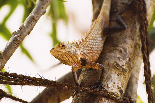 lizzard tree eyes reptile chameleon srilanka tropics travel vacation tea paradise adventure summer surfing water explore srilankan beach sand sunset sunrise mountains landscape town local wallpaper nature mirissa aurgambay ella exotic wave jungle