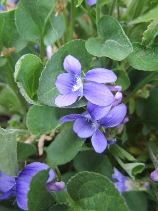 Violets on the Songbird Trail