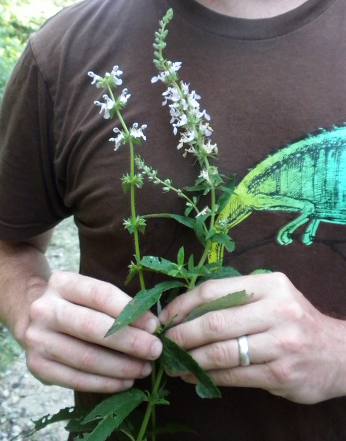 Stachys and Teucrium