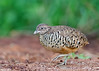 Barred Buttonquail (Male) - Turnix suscitator (4) by Andy_LYT
