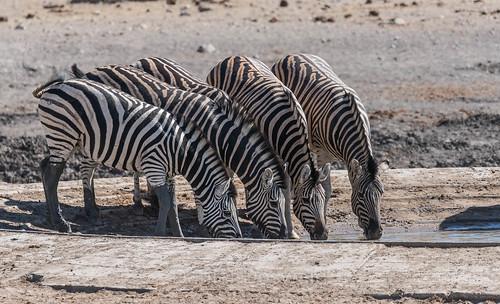 zebra etosha namibia