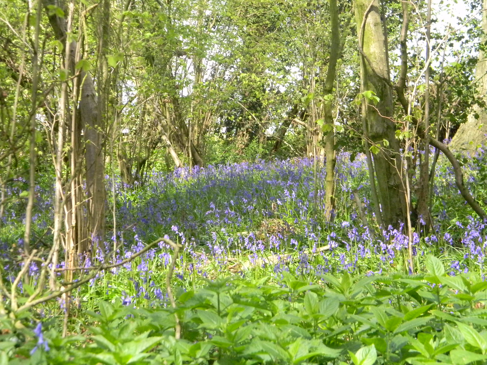Bluebells Point 14, Pangbourne Circular