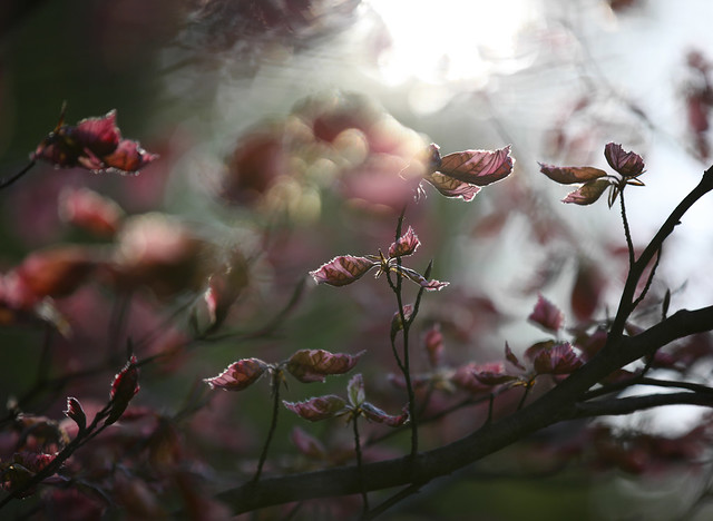Tricolor Beech - Sunbeams