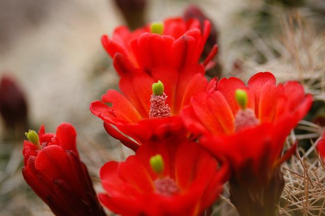 Hartnett, Claret Cup Cactus (3)
