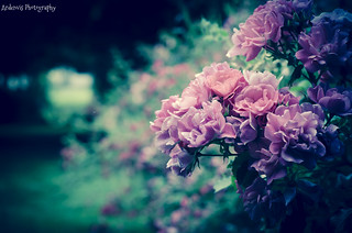 group of pink roses | by Ardenvis