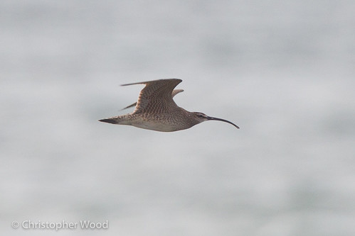 Whimbrel (hudsonian), Wayne Co, New York | by zeledonia