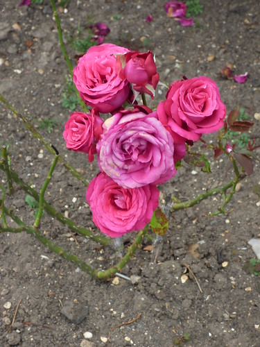 Gardens at Hampton Court Palace - the Rose Garden - roses on the border | by ell brown