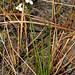 Flickr photo 'Grassy Arrowhead (Sagittaria graminea)' by: Mary Keim.