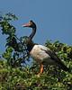 Magpie Goose (Anseranas semipalmata) 1/1 by Chris.Kookaburra