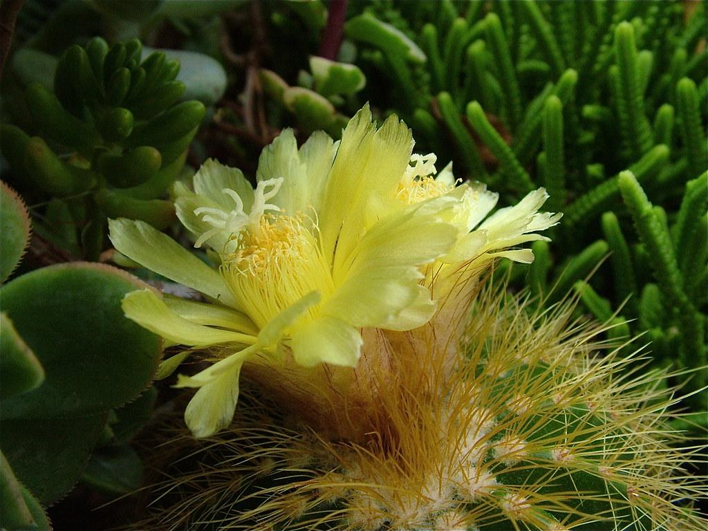 Fiori Piccoli.Piccoli Fiori Gialli Fiori Di Notocactus Warasii Durante Flickr