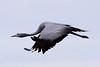 Blue Crane, anthropoides paradiseus, Bloukraanvoel by Peet van Schalkwyk