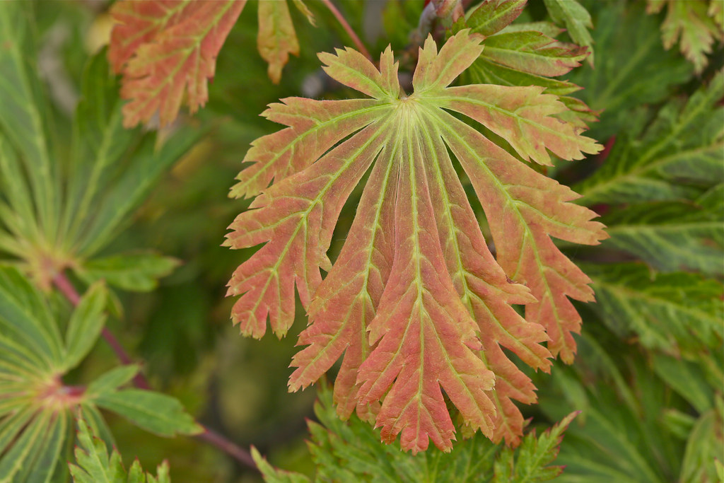 Fernleaf Full-Moon Japanese Maple Trees For Sale | The ... |Full Moon Maple Leaf