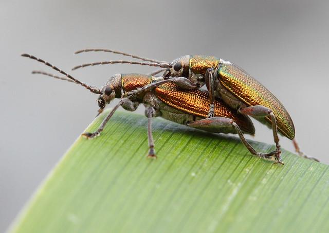 Leaf Beetles mating