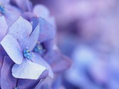 紫陽花の季節も終わり… by Noël Café