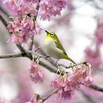 F_DSC_5666-綠繡眼-Japanese White-eye