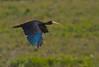 Bare-faced Ibis - Brazilian Birds - Species # 040 by Bertrando©