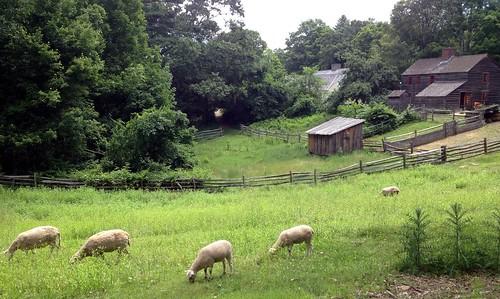 animal animals farmhouse ma sheep farm massachusetts country newengland pasture sturbridge livestock farmanimal farmanimals oldsturbridgevillage osv sturbridgema sturbridgemass sturbridgemassachusetts