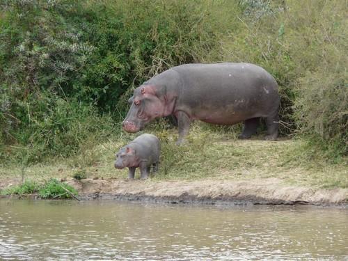 Hippo - Mpala Farm 1   by Army Ornithological Society
