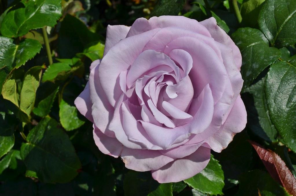 Neptune Rose
