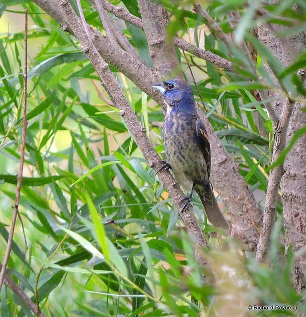Immature Male Blue Grosbeak_N7060