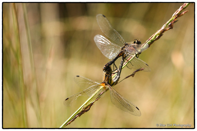 Black Darter dragonflies mating