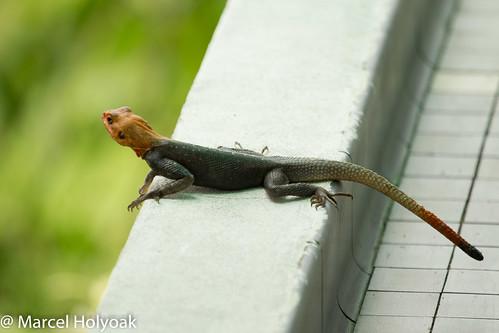 lizards reptiles cameroon edea littoral agamidlizard