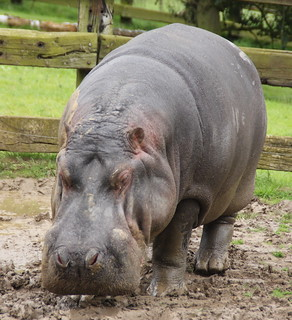 Hippopotamus: Whipsnade Zoo: 09-June 2012 | by amodelofcontrol
