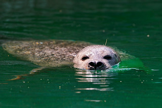 Seal at the surface | by Tambako the Jaguar