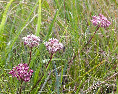 Asclepias michauxii , Michaux's Milkweed, Conecuh National Forest, Covington County, Alabama | by Brad Wilson, DVM